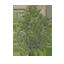 Conker Tree Symbol Style